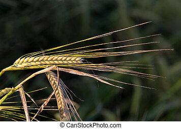 Close up of golden barley ear in springtime