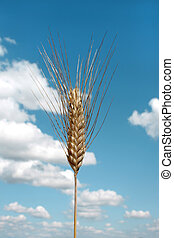 Barley ear (Raw materials for beer)
