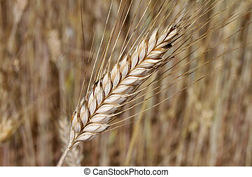 Barley ear (Raw materials for beer)