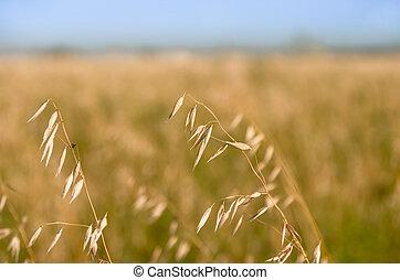 barley ears on the field