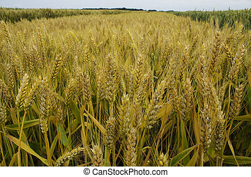 barley field 1