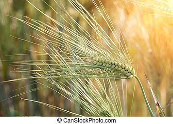 Barley field at sunset