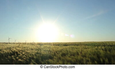 Barley field - barley field in the evening sun and wind...