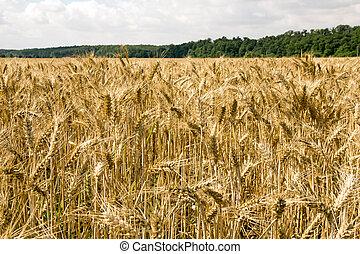 Barley field with many barley ears