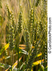 barley field before the harvest - a cereal field with barley...