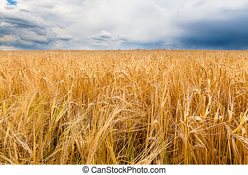 Barley field before the storm