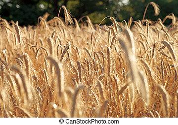 golden shining barley field