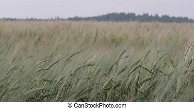 barley field green