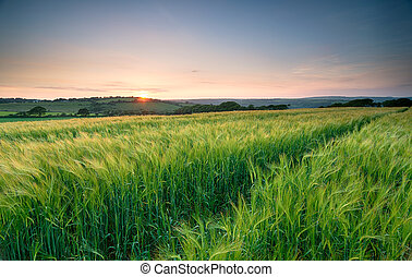 Barley Field in Cornwall
