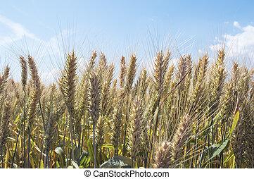 Barley field in summer. Harvest concept