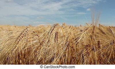 Barley field in summer.