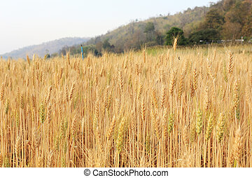 barley field of agriculture rural scene, golden rice fields
