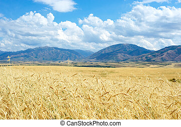 Barley field on a background of mountains