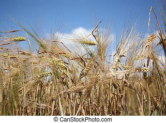 Barley field on a sunny summer day