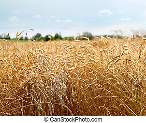 Barley field s on a hot sunny day