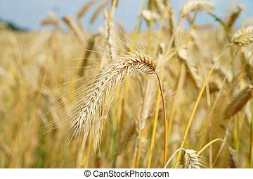 barley field - gold shining barley field