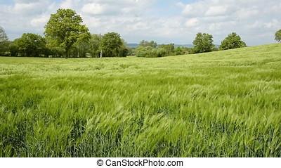 Barley Field - Footage of a lush green field of barley...