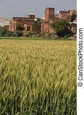Barley field sunny summer day