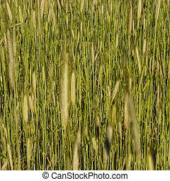 barley field texture