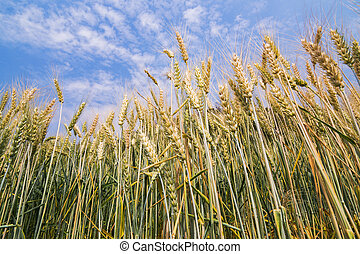 Barley field under Blue Sky