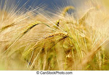 barley field under dark blue sky