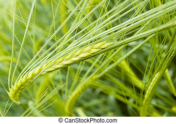 unripe field of barley, interesting perspective