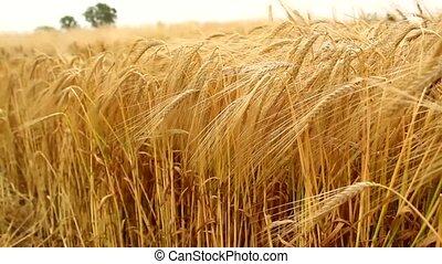 barley  field - barley grain wheat field