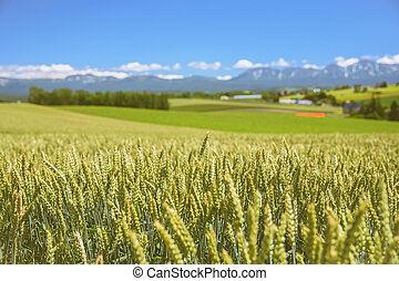 Barley field with farm and mountain background