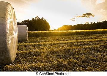 Barley field with silage rolls - Barley field in golden glow...