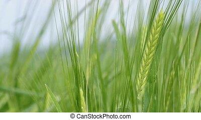 barley - unripe barley in wind