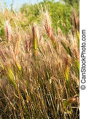 Barley grass or wall barley (Hordeum murinum). Close up.