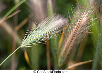 Barley grass or wall barley (Hordeum murinum) with dewdrops. Close-up.