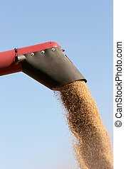 barley harvest, discharging the crop from the combine onto a...