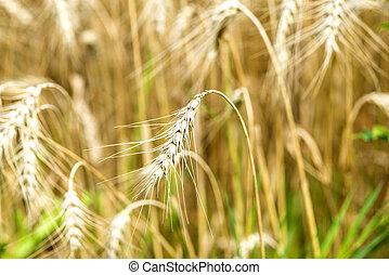 barley, head in a field