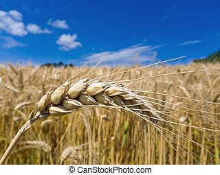 barley in a field - ears of barley on a cereal box of a...