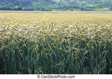 Barley in morning sun