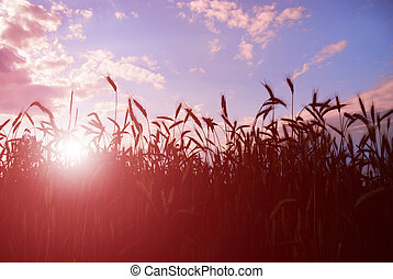 Barley in sunset