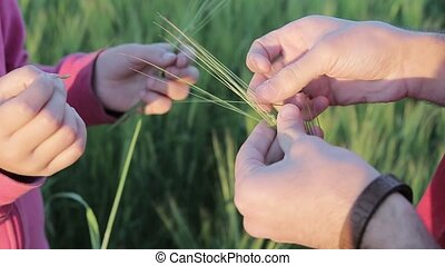 Barley in the hands