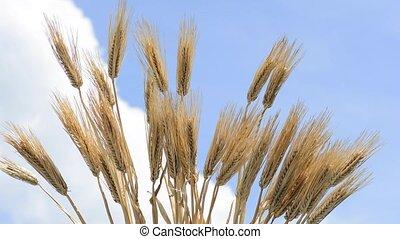 Barley like a fan - Ears of barley spread like a fan under...