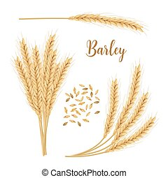 Barley, oat set. Plant, spikelet with ears, grains, seeds, ...