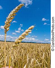 barley on a field