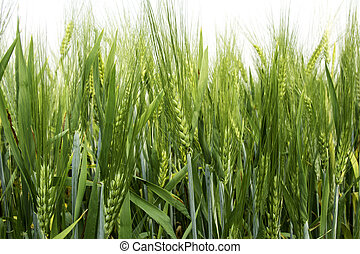 Barley rice field in low angle view.