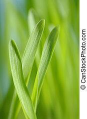 Barley seedlings - Closeup of barley seedlings. Short depth-...