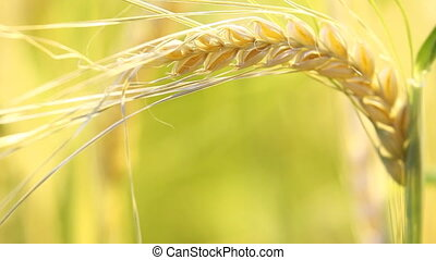 barley spike in the summer field