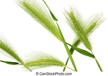 barley spikes