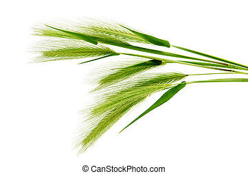 barley spikes isolated on a white background