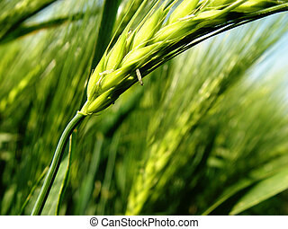 barley spikes - june in the field