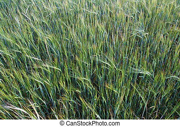 Barley spikes on the field