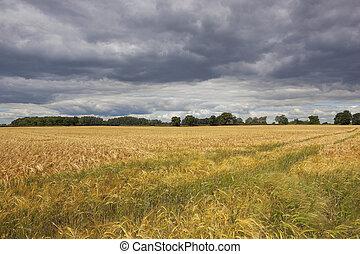 barley under stormy skies
