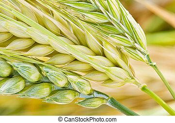 barley, wheat and rye